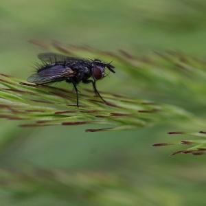 Rošťák moucha na stéble.
