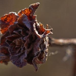Uschlý květ po zimě.