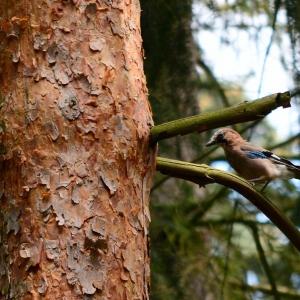 Sojka, která bere veverkám z parku naše oříšky.