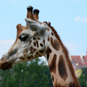 Žirafa a JIhlava v pozadí.