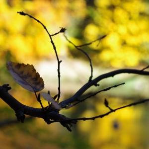 Jeden ze zlatých listů na Sázavě.